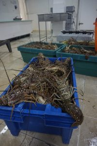 Lobsters in plastic tubs at an artisanal lobster fishery in Belize