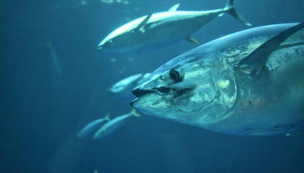 Tuna underwater